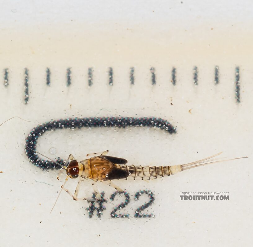 Male Baetis flavistriga (BWO) Mayfly Nymph from Mystery Creek #249 in Washington