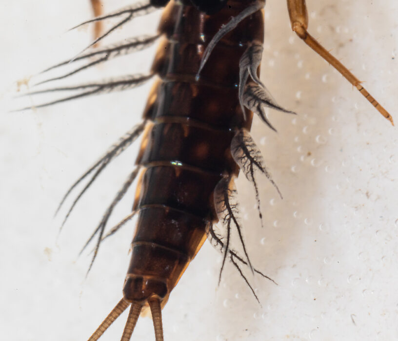 Neoleptophlebia memorialis Mayfly Nymph from the Dosewallips River in Washington