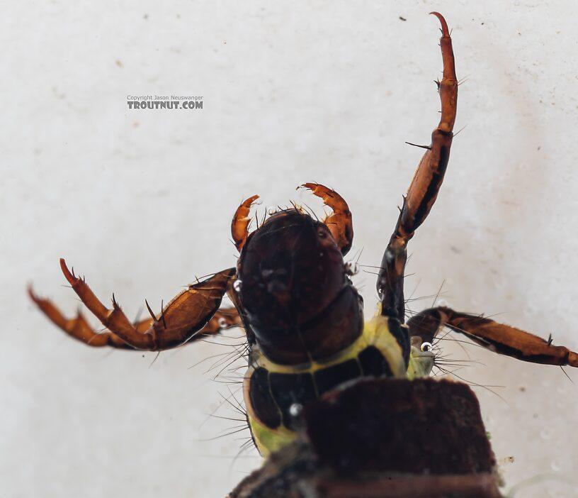 Brachycentrus americanus (American Grannom) Caddisfly Larva from the Dosewallips River in Washington