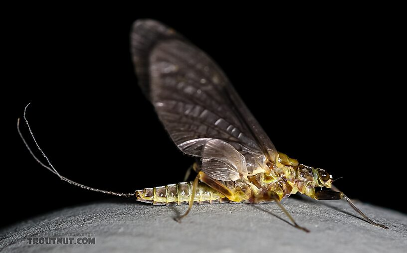 Female Drunella flavilinea (Flav) Mayfly Dun from the Henry's Fork of the Snake River in Idaho