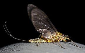 Female Drunella flavilinea (Flav) Mayfly Dun