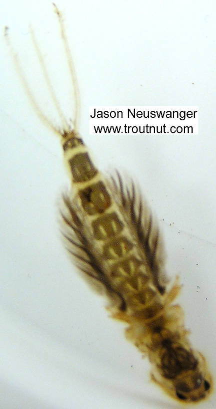 This motion-blurred picture shows the posture of a Hexagenia nymph in motion.  Hexagenia limbata (Hex) Mayfly Nymph from unknown in Wisconsin