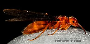 Formicidae (Ants) Insect Adult