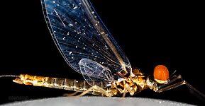 Male Ephemerella excrucians (Pale Morning Dun) Mayfly Spinner