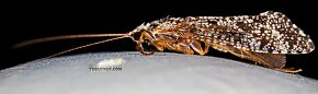 Female Trichoptera (Caddisflies) Insect Adult