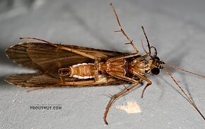 Male Hydropsyche (Spotted Sedges) Caddisfly Adult
