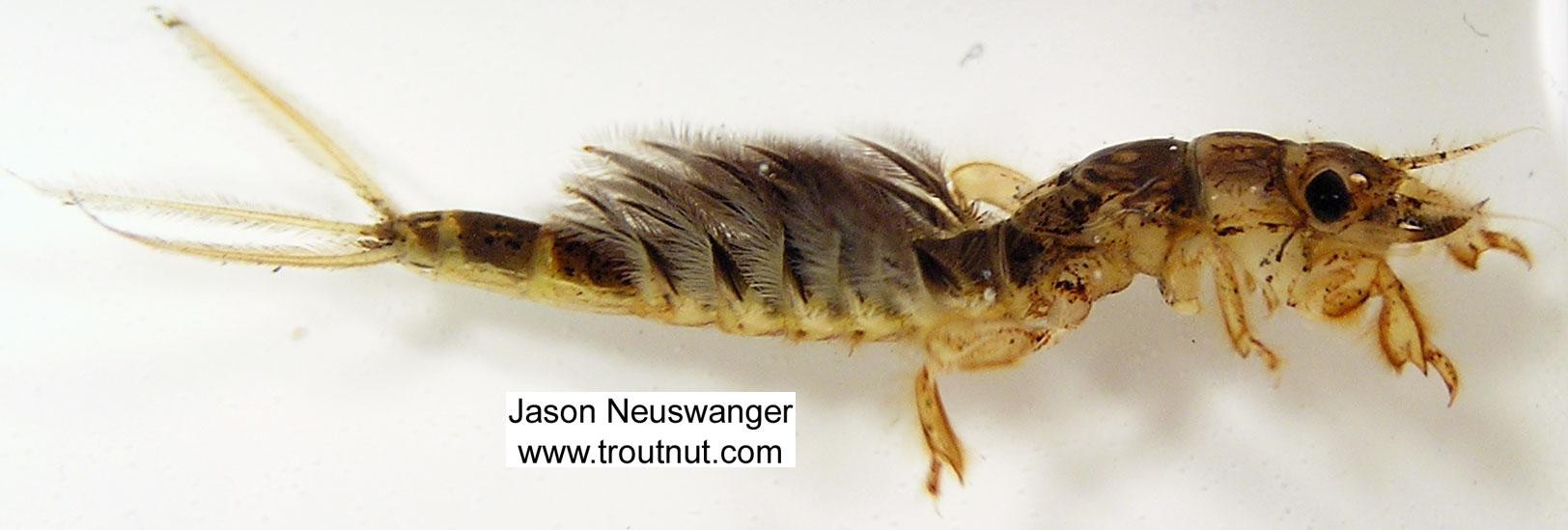 Hexagenia limbata (Hex) Mayfly Nymph from Big Brook in Wisconsin