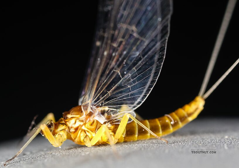Female Baetis tricaudatus (Blue-Winged Olive) Mayfly Spinner from the Henry's Fork of the Snake River in Idaho