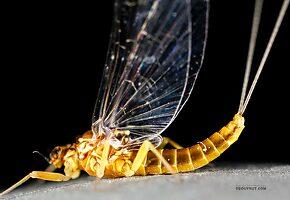 Female Baetis tricaudatus (Blue-Winged Olive) Mayfly Spinner
