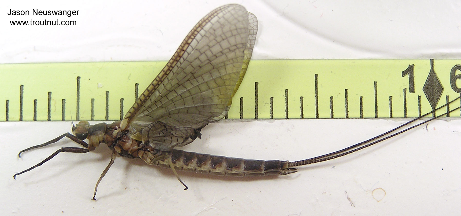 Male Hexagenia limbata (Hex) Mayfly Dun from unknown in Wisconsin