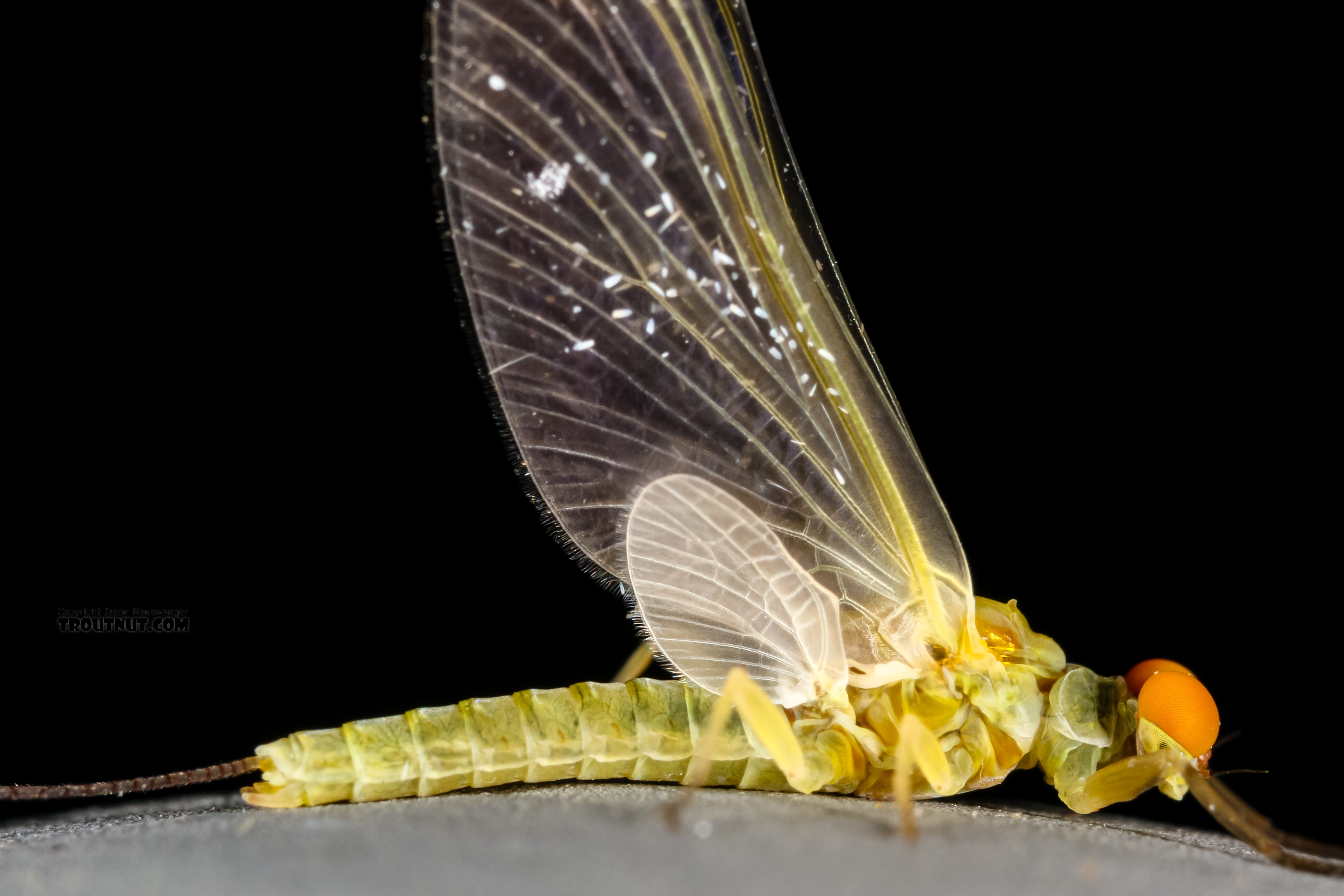 Male Ephemerella excrucians (Pale Morning Dun) Mayfly Dun from the Henry's Fork of the Snake River in Idaho