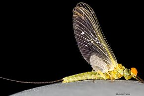 Male Ephemerella excrucians (Pale Morning Dun) Mayfly Dun