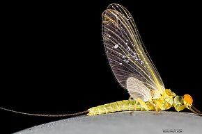 Male Ephemerella excrucians (Pale Morning Dun) Mayfly Dun