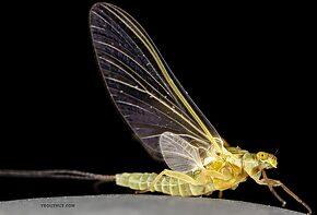 Female Ephemerella excrucians (Pale Morning Dun) Mayfly Dun