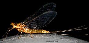 Female Ephemerella excrucians (Pale Morning Dun) Mayfly Spinner