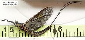 Male Hexagenia limbata (Hex) Mayfly Dun