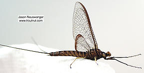 Male Hexagenia atrocaudata (Late Hex) Mayfly Spinner
