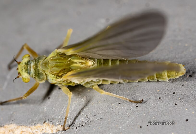 Female Ephemerella excrucians (Pale Morning Dun) Mayfly Dun from the Henry's Fork of the Snake River in Idaho