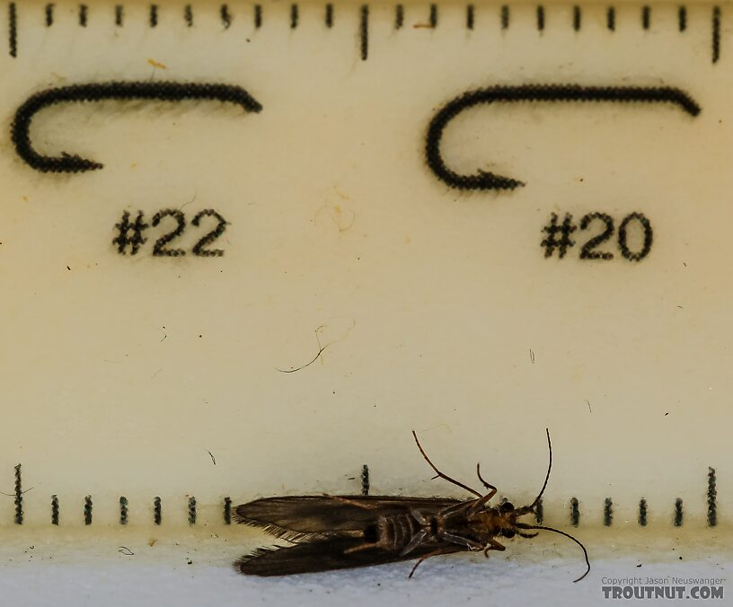 Trichoptera (Caddisflies) Caddisfly Adult from the Henry's Fork of the Snake River in Idaho