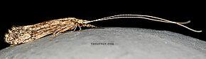 Leptoceridae  Caddisfly Adult