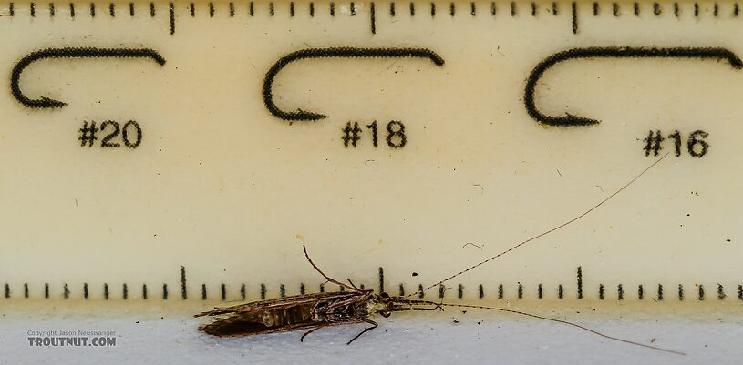 Leptoceridae Caddisfly Adult from the Henry's Fork of the Snake River in Idaho