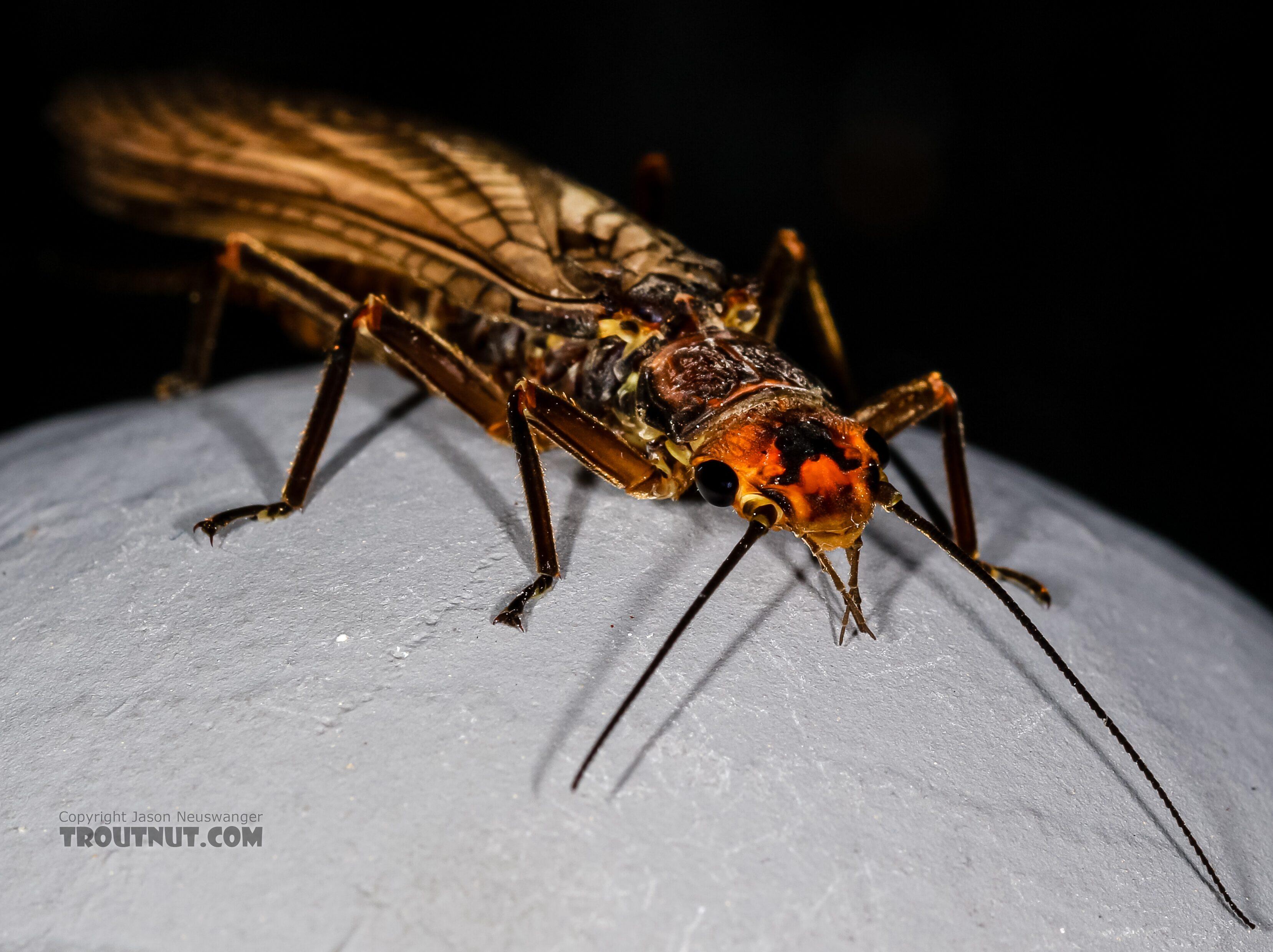 Female Hesperoperla pacifica (Golden Stone) Stonefly Adult from the Henry's Fork of the Snake River in Idaho