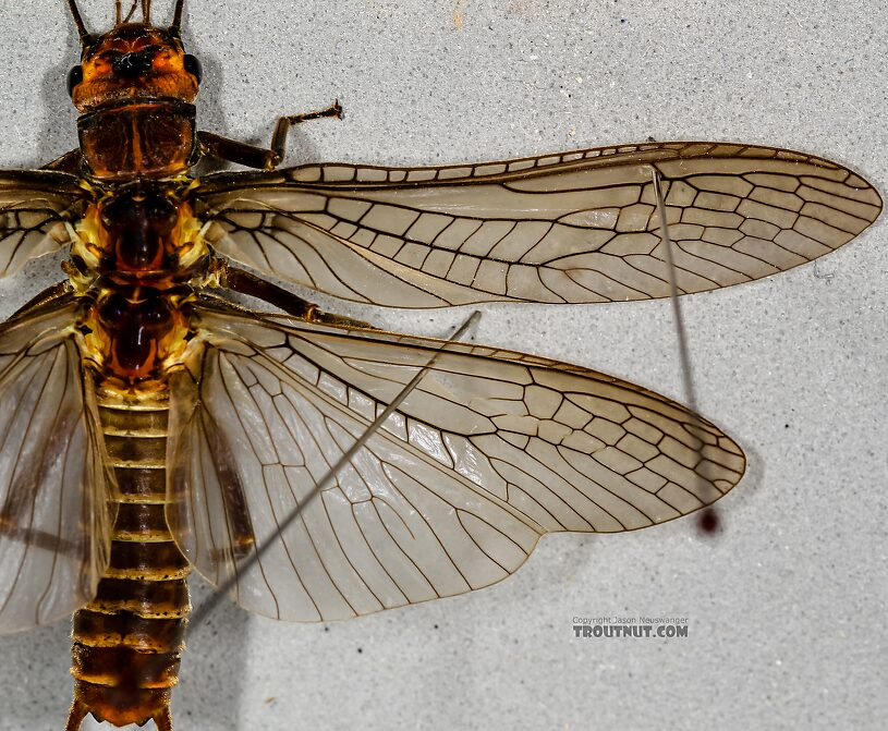 Female Hesperoperla pacifica (Golden Stone) Stonefly Adult from the Henry's Fork of the Snake River in Idaho