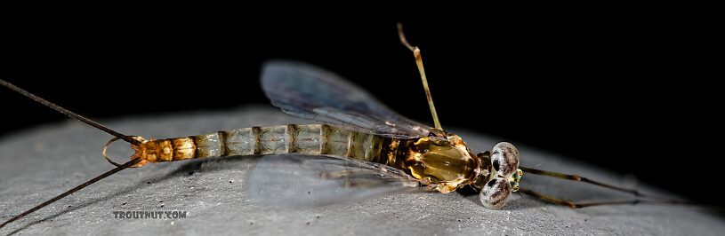 Male Epeorus albertae (Pink Lady) Mayfly Spinner from the Henry's Fork of the Snake River in Idaho