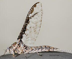 Female Callibaetis ferrugineus (Speckled Spinner) Mayfly Spinner