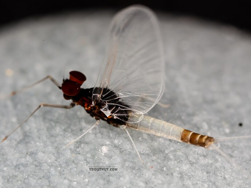 Male Acerpenna pygmaea (Tiny Blue-Winged Olive) Mayfly Spinner from the Henry's Fork of the Snake River in Idaho