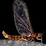 Female Acerpenna pygmaea (Tiny Blue-Winged Olive) Mayfly Spinner