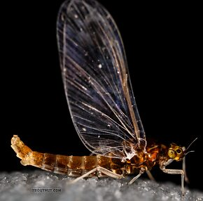Female Acerpenna pygmaea (Tiny Blue-Winged Olive) Mayfly Spinner