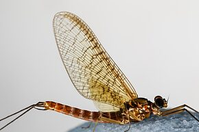 Male Cinygmula reticulata (Western Ginger Quill) Mayfly Spinner
