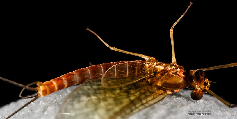 Male Cinygmula reticulata (Western Ginger Quill) Mayfly Spinner from Mystery Creek #237 in Montana