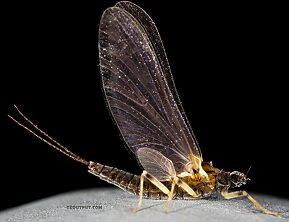 Female Ephemerella tibialis (Little Western Dark Hendrickson) Mayfly Dun