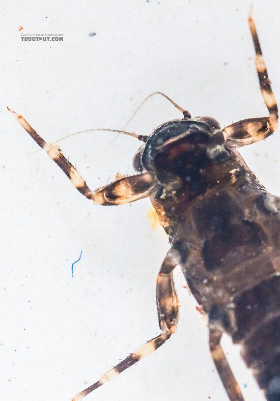Ephemerella tibialis (Little Western Dark Hendrickson) Mayfly Nymph from the East Fork Big Lost River in Idaho
