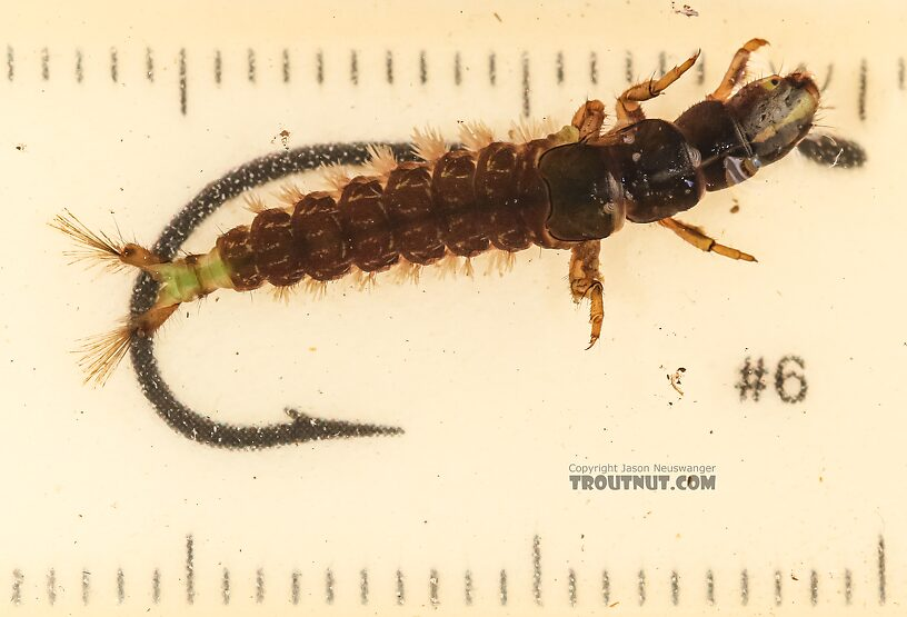 Arctopsyche grandis (Great Gray Spotted Sedge) Caddisfly Larva from the East Fork Big Lost River in Idaho