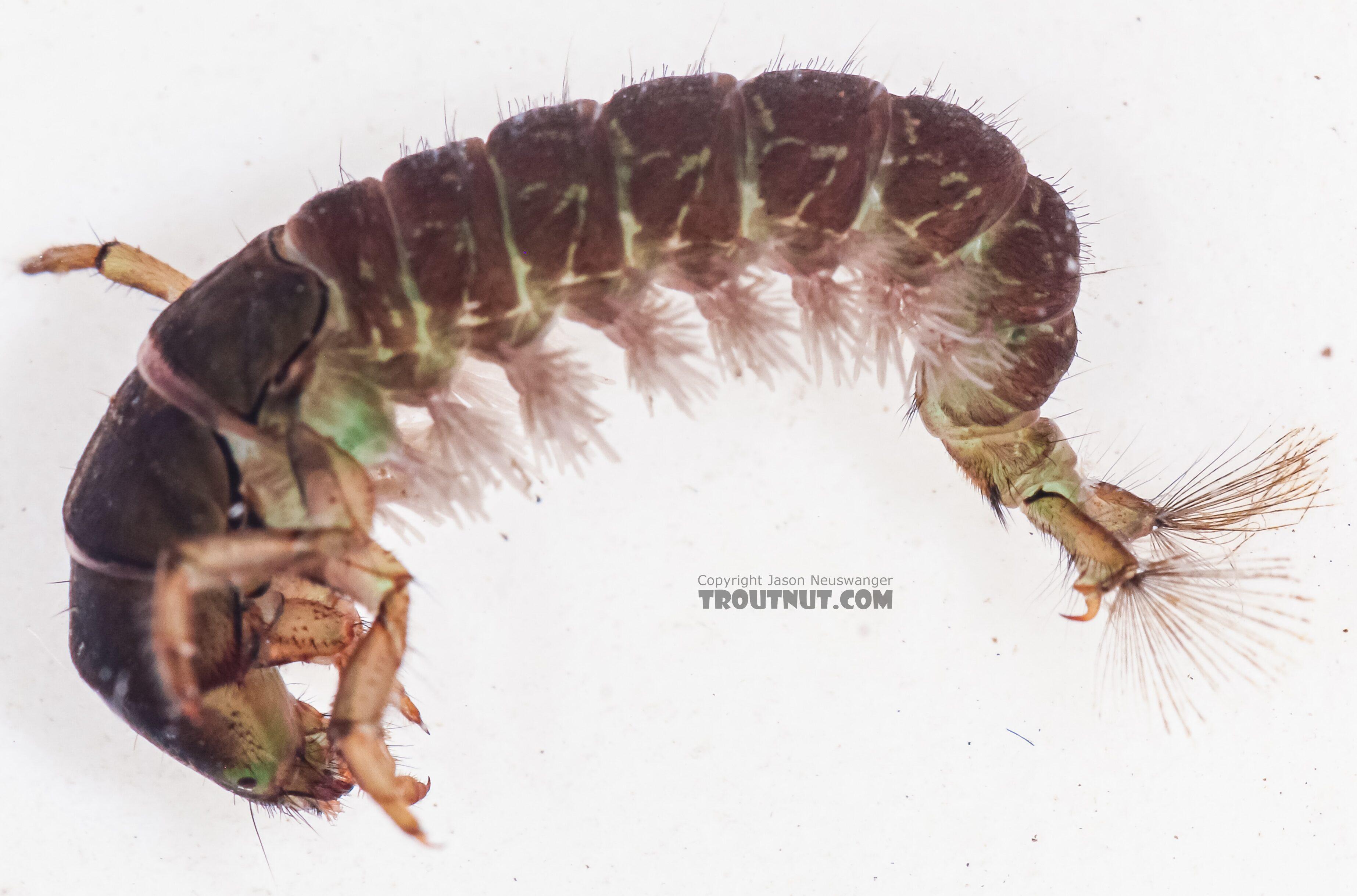 Hydropsychidae Caddisfly Larva from the East Fork Big Lost River in Idaho