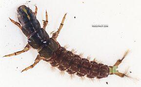 Arctopsyche grandis (Great Gray Spotted Sedge) Caddisfly Larva