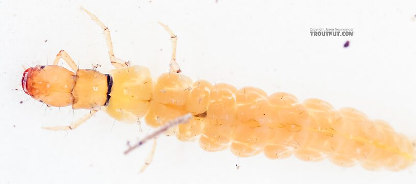 Philopotamidae Caddisfly Larva from the East Fork Big Lost River in Idaho