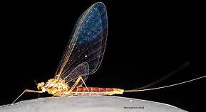 Female Cinygmula ramaleyi (Small Western Gordon Quill) Mayfly Spinner