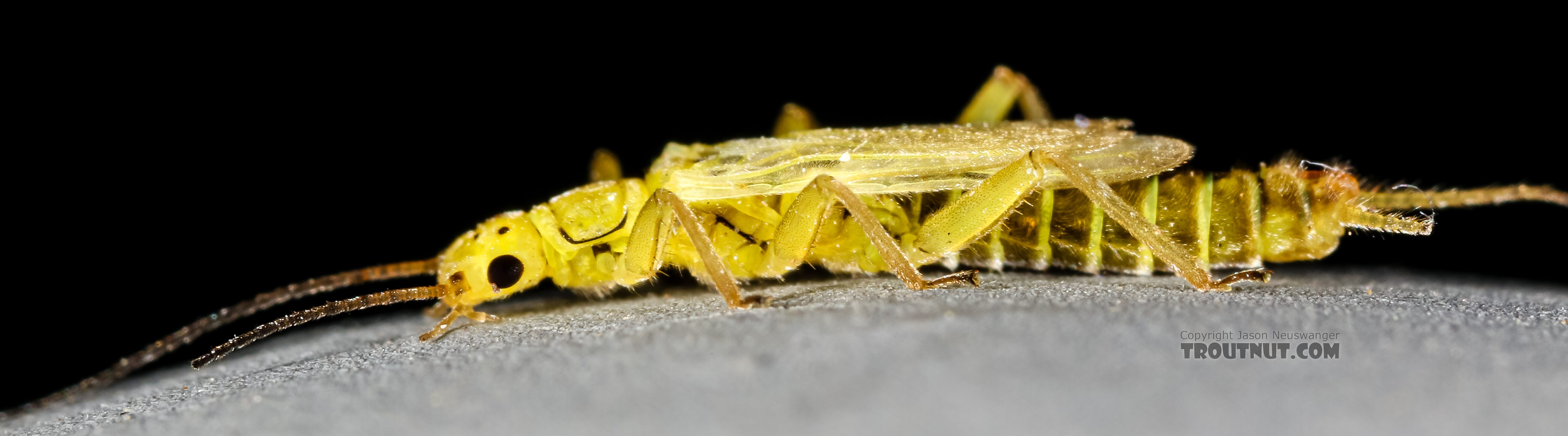 Male Chloroperlidae (Sallflies) Stonefly Adult from Green Lake Outlet in Idaho
