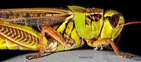 Acrididae (Grasshoppers) Insect Adult