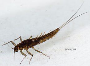 Baetis bicaudatus (BWO) Mayfly Nymph