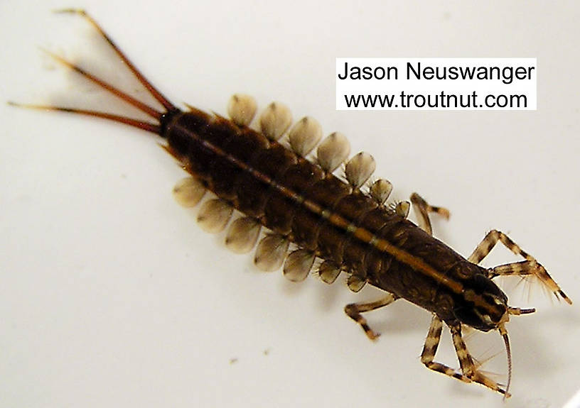 Isonychia bicolor (Mahogany Dun) Mayfly Nymph from the Namekagon River in Wisconsin