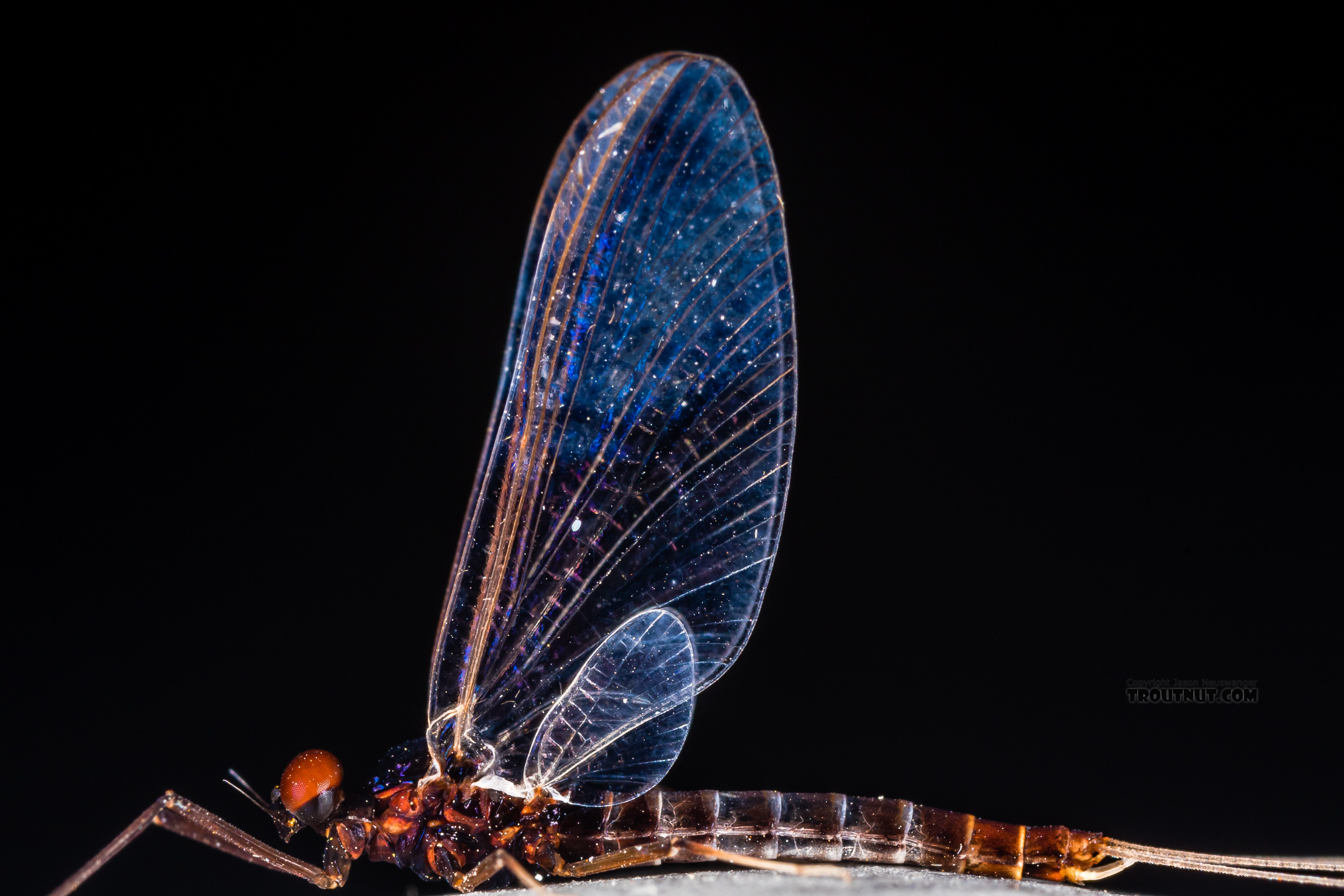 Male Neoleptophlebia heteronea (Blue Quill) Mayfly Spinner from Trealtor Creek in Idaho