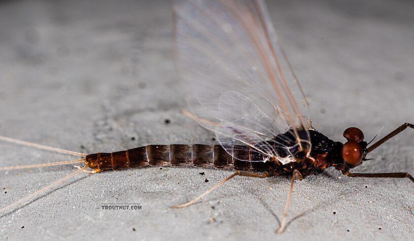 Male Neoleptophlebia heteronea (Blue Quill) Mayfly Spinner from Trealtor Creek in Idaho