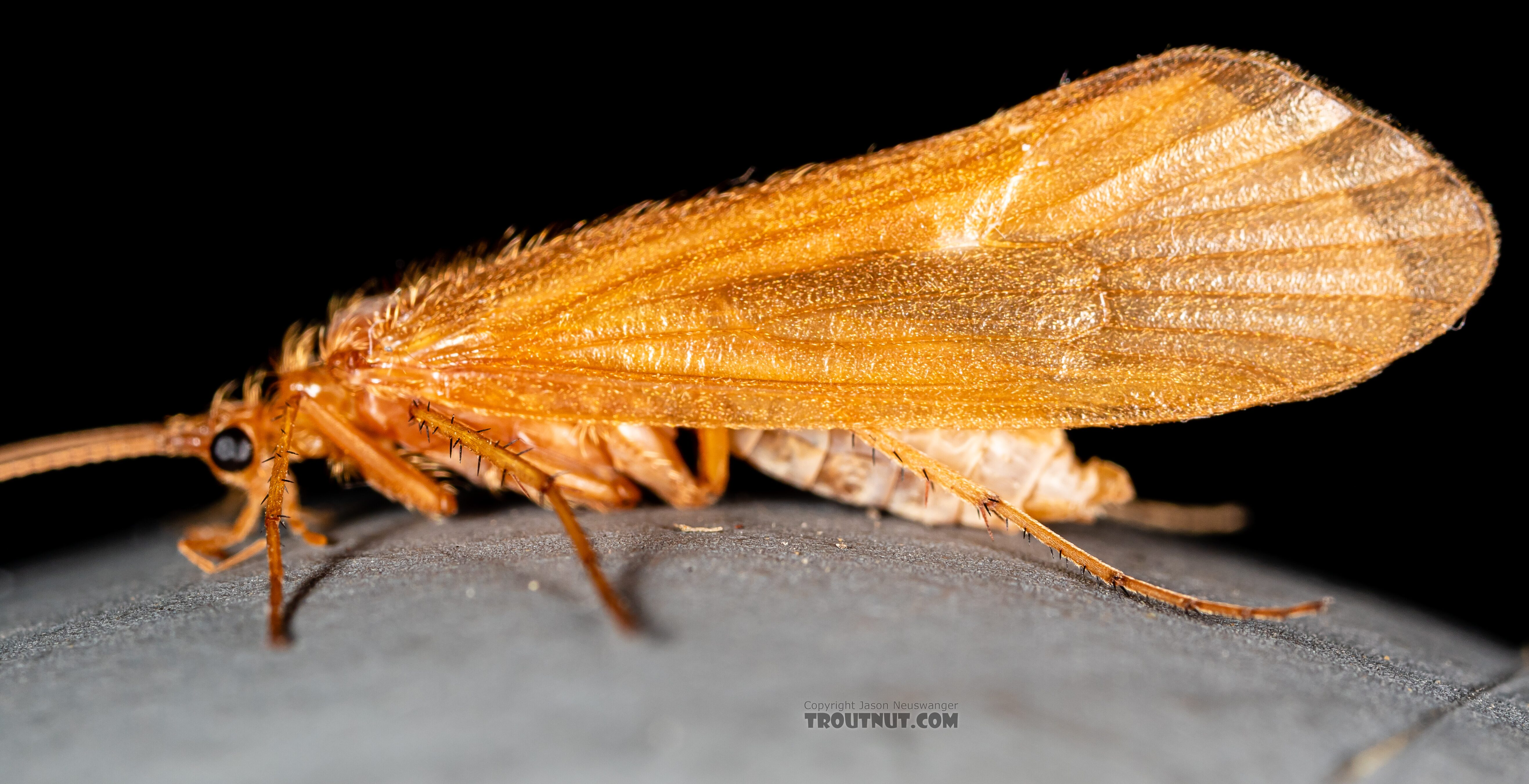 Trichoptera (Caddisflies) Caddisfly Adult from Trealtor Creek in Idaho