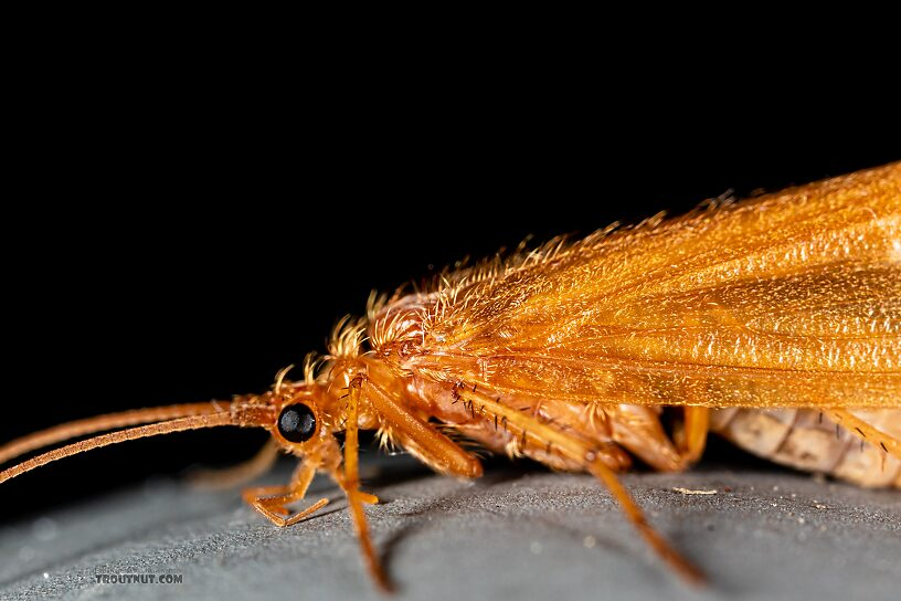Trichoptera (Caddisflies) Caddisfly Adult from Trealtor Creek in Idaho