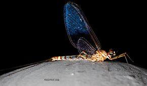 Male Epeorus (Little Maryatts) Mayfly Spinner